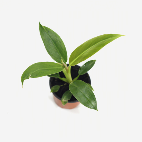 Philodendron Wendlandii(S) - Houseplants or Indoorplants