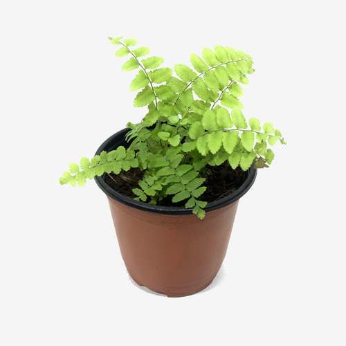 Nephrolepis Biserrata Macho Fern