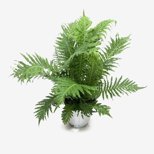 Silver Lady Fern or Dwarf Tree Fern