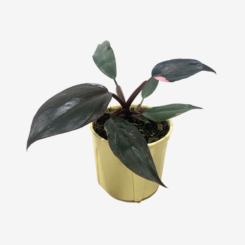 Philodendron Pink Princess - Houseplants or Indoorplants
