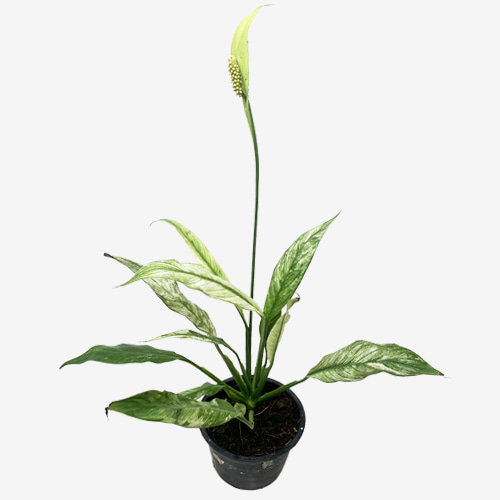 Spathiphyllum Domino Variegated - Houseplants or Indoorplants