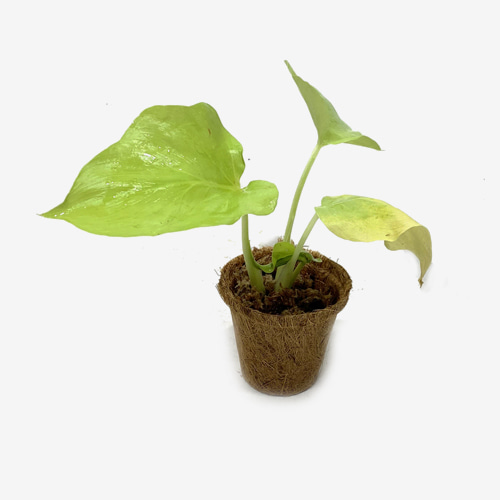 Philodendron warscewiczii aurea